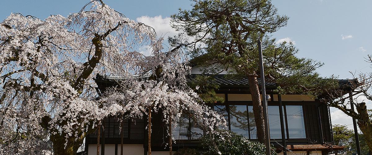 花月楼としだれ桜